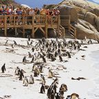 Kapstadt- Pinguin-Kolonie