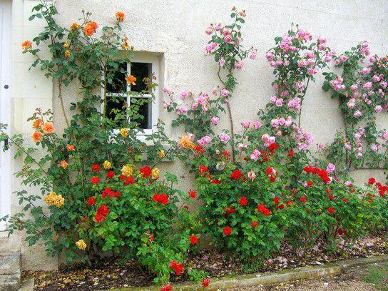 Rosen an der Loire