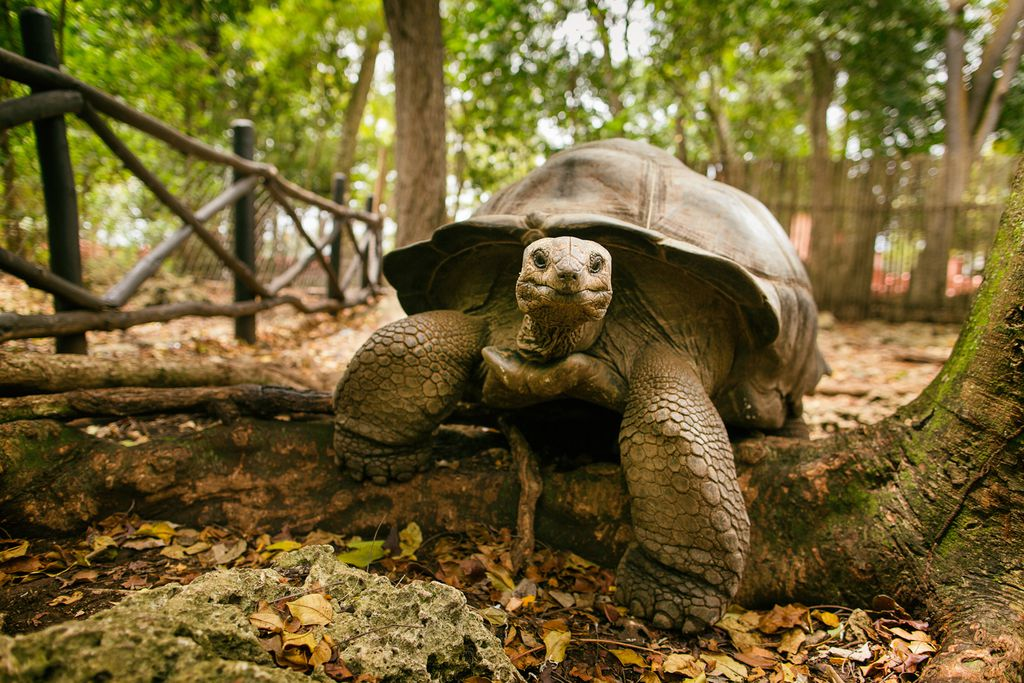 Risenschildkröte auf Changuu Island