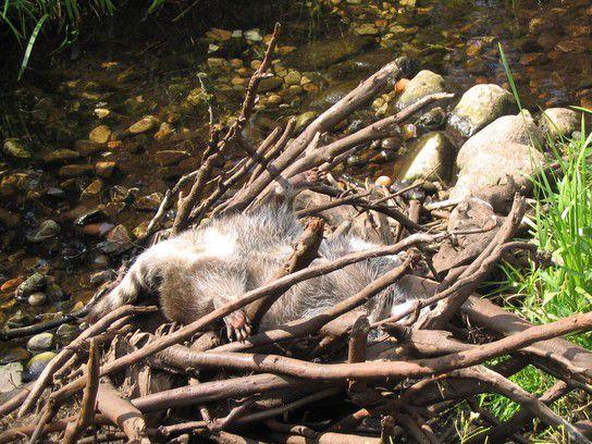 schlafender Waschbär (lebendig!)