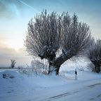 Winterliche Kopfweiden im Morgenlicht