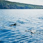 Vor den Küsten der Azoren kann man mit Delfinen schnorcheln, die sich dort tummeln