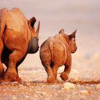 Safari- Nashorn mit Jungtier