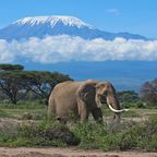 Elefant in Kenia vor dem Kilimandscharo