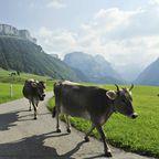 Bergkühe in Appenzell