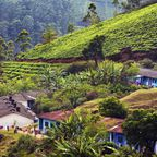Indische Häuser umgeben von Teeplantagen