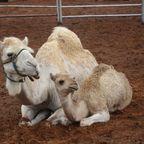 Kamele 2 im Red Center
