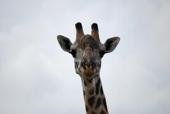 Close-up Giraffe