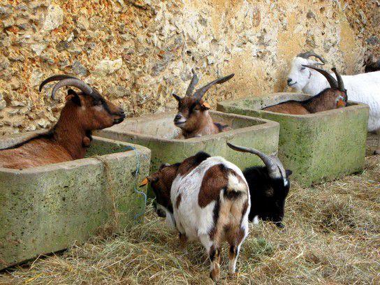 Glückliche Ziegen in Versailles
