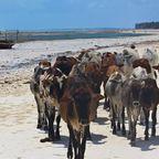 Cattlewalk auf Sansibar