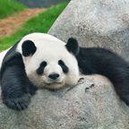 National Zoo: Gratis zu den Pandabären