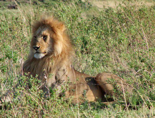Masai Mara - Löwe