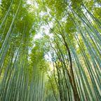 Der Sagano-Arashiyama ist ein dicht bewachsener Bambuswald in Japan