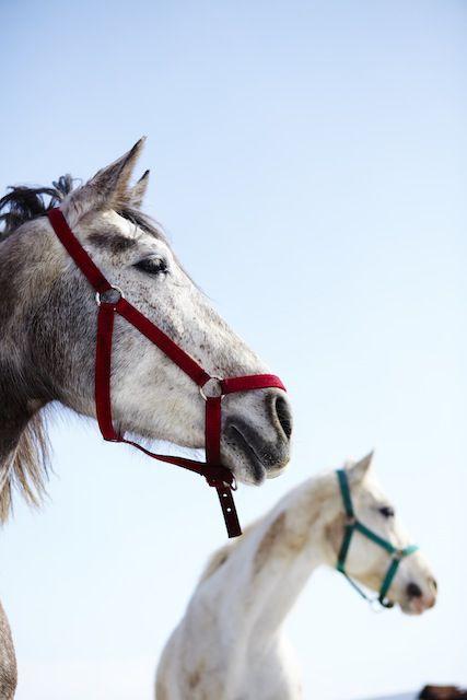 Die Pferde Siebenbürgens