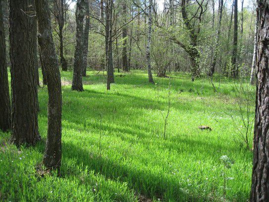 Sternmieren im Wald