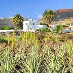 Aloe Vera-Feld auf Fuerteventura