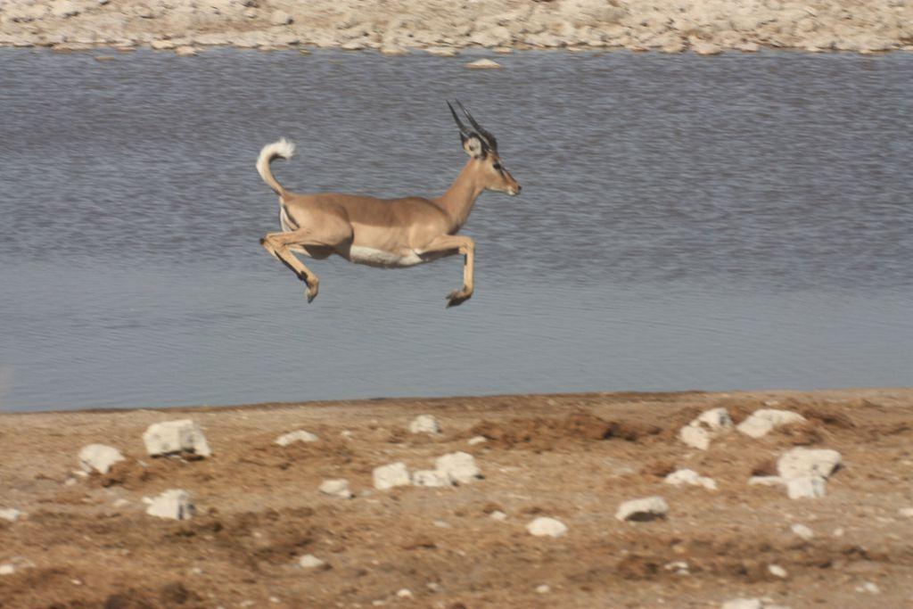 Impala beim Frühsport