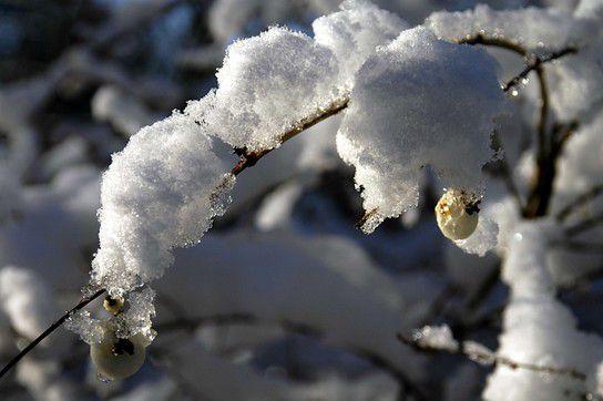 Schnee biegt die Zweige